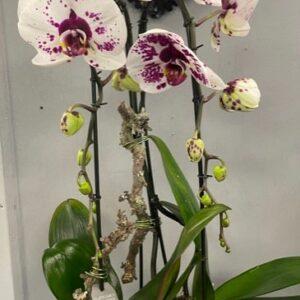 Eloi fleurs Phalaenopsis duo