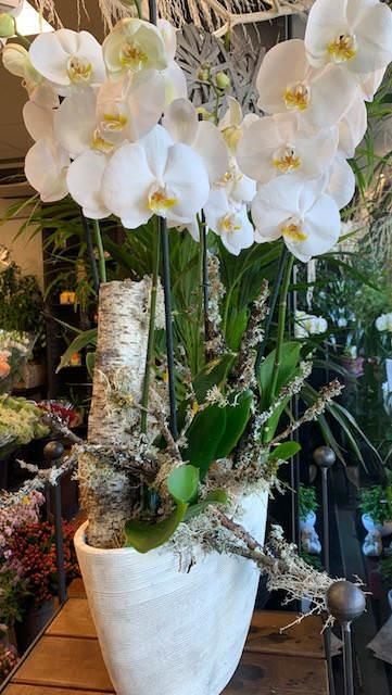 img 7167 1 - Le Duo de Phalaenopsis